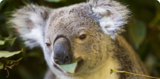 Cute koala eating eucalyptus leaves.