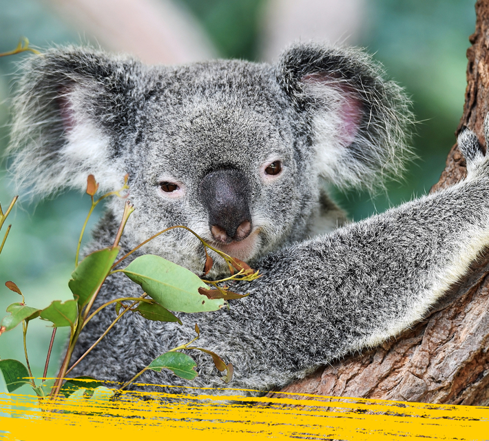 Koala hugging a tree in the wilderness.