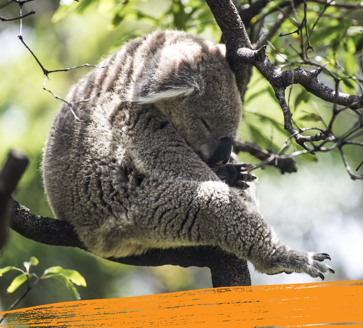 A cute koala bear is fast asleep in a tree.