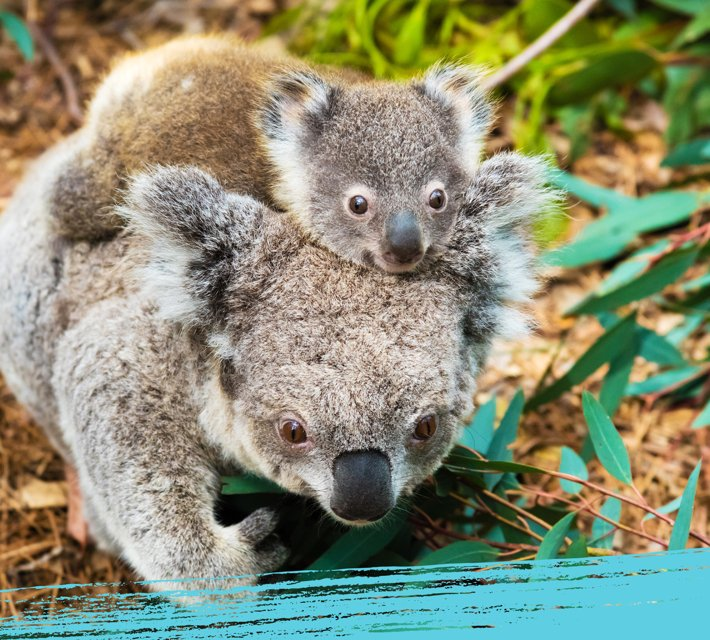 A koala bear mother with baby in their natural habitat in Australia.