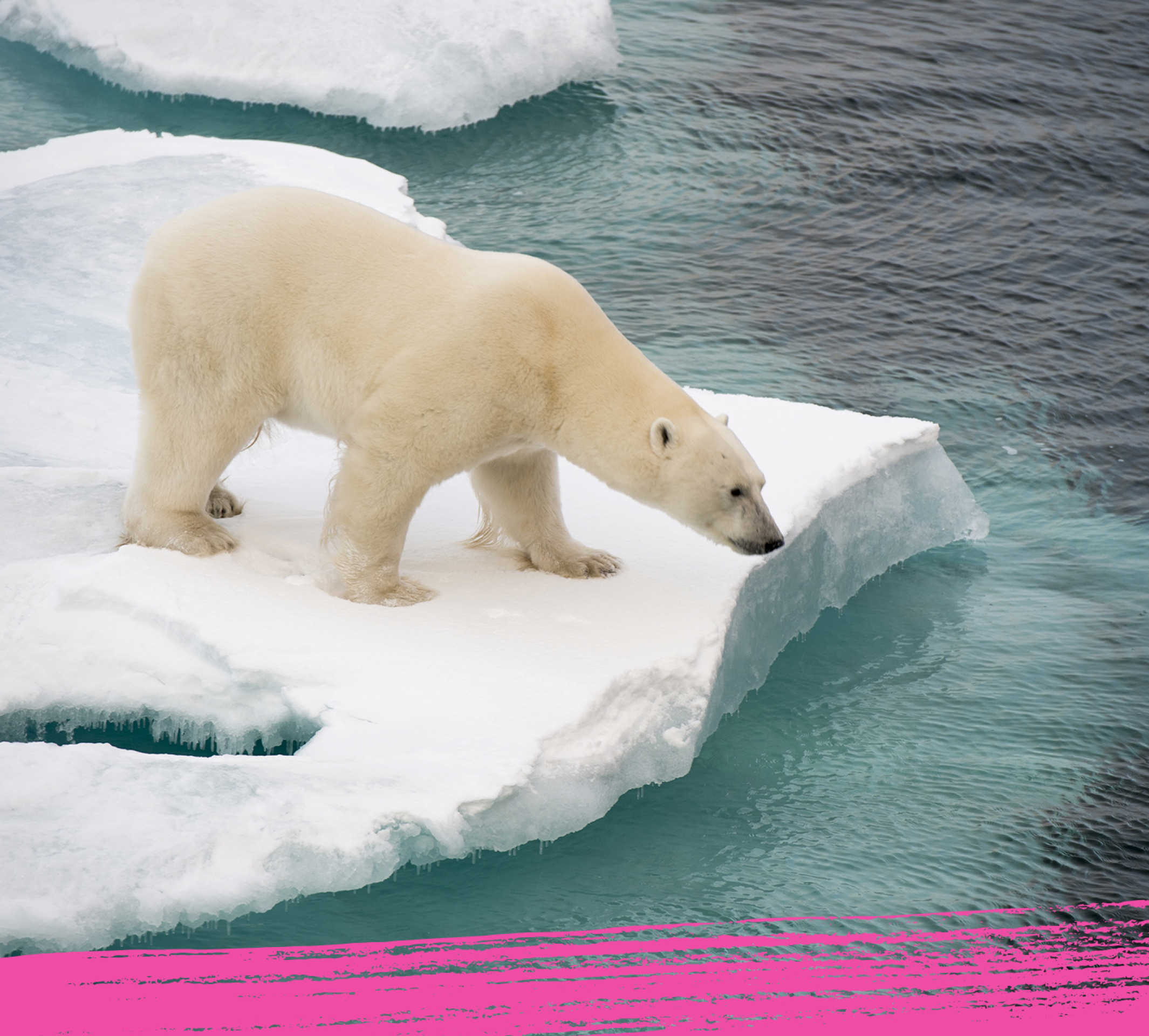Polar bear with its two cubs