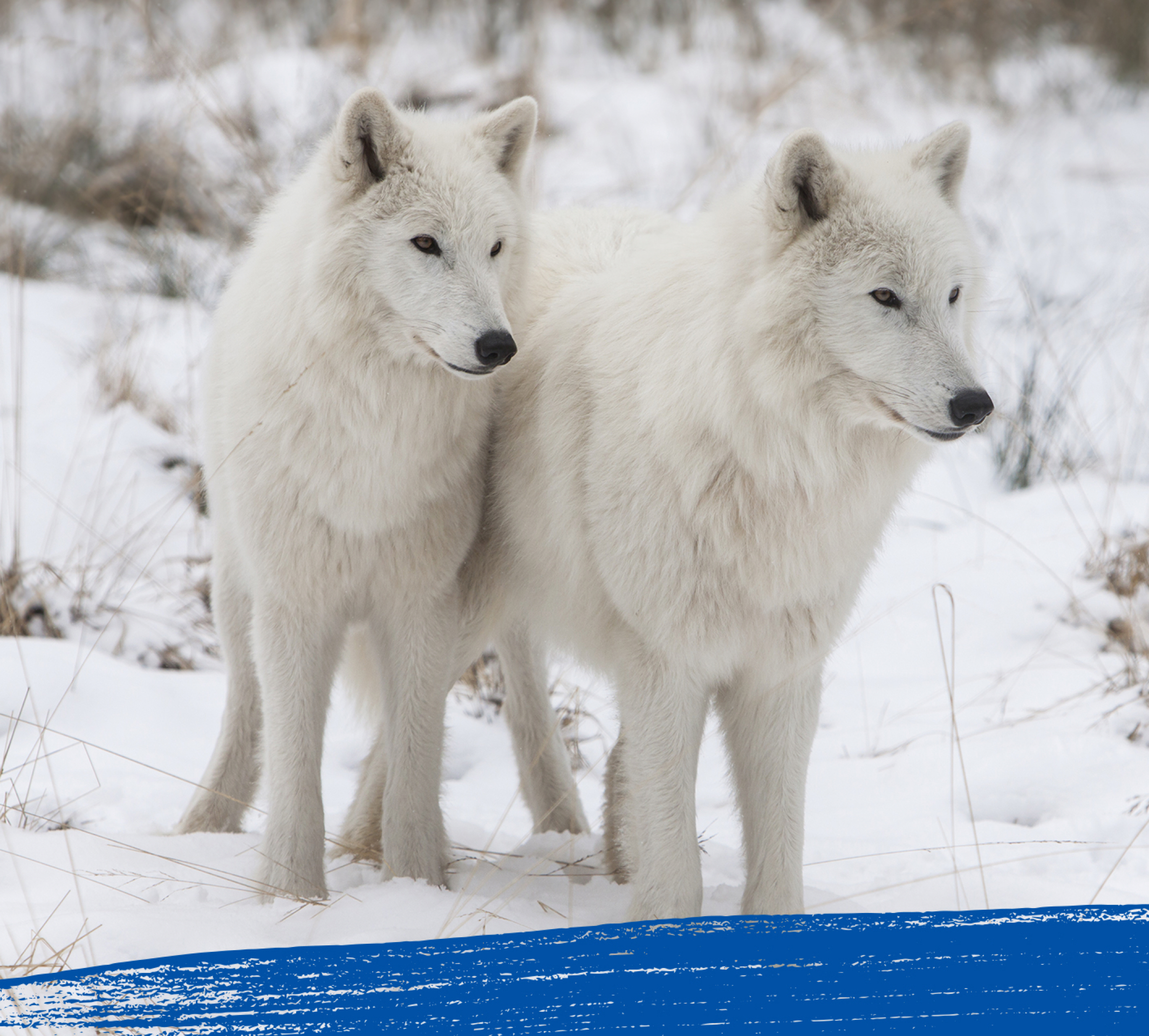 Two arctic wolves staring at something