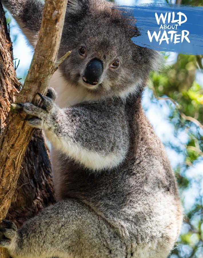Koala on a tree in its natural habitat in Australia