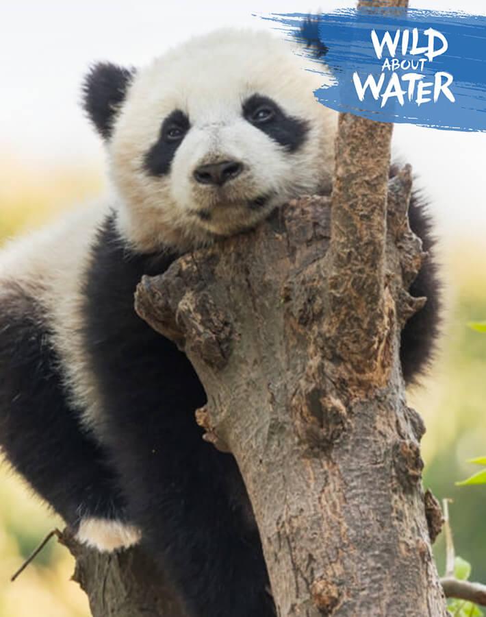 Panda in a tree in its natural habitat