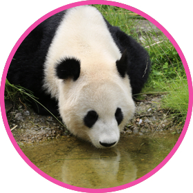 Giant panda drinking water from a river