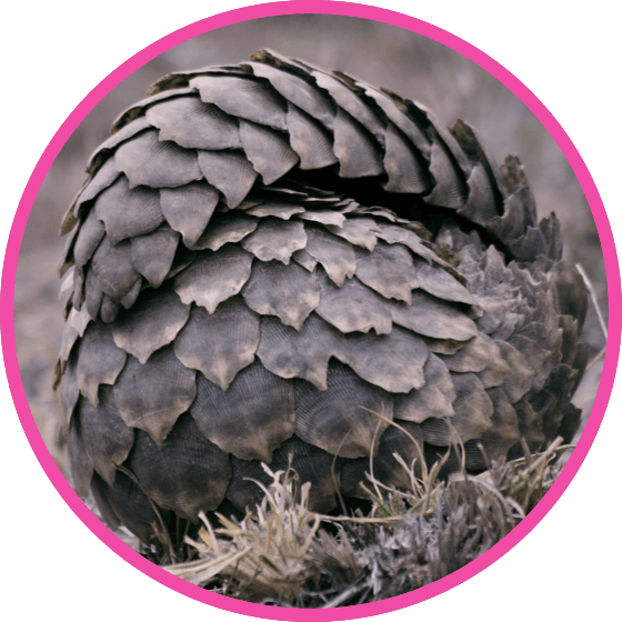 nestle pure life pangolin rolled into ball