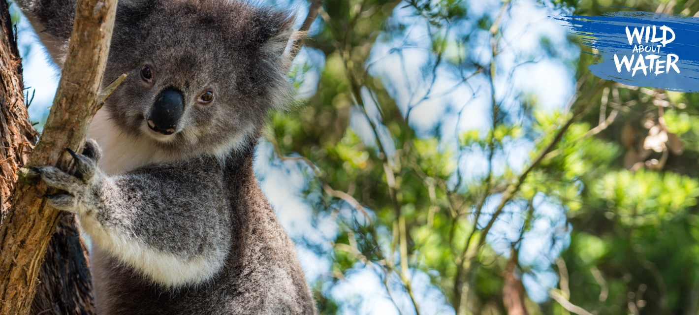 Koala on a tree in its natural habitat in Australia