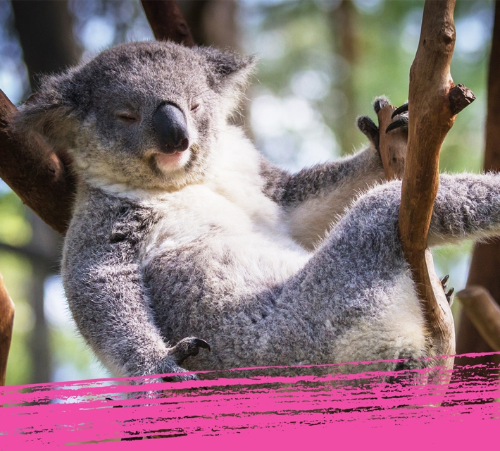 Cute fluffy koala relaxing in a tree in Australia.