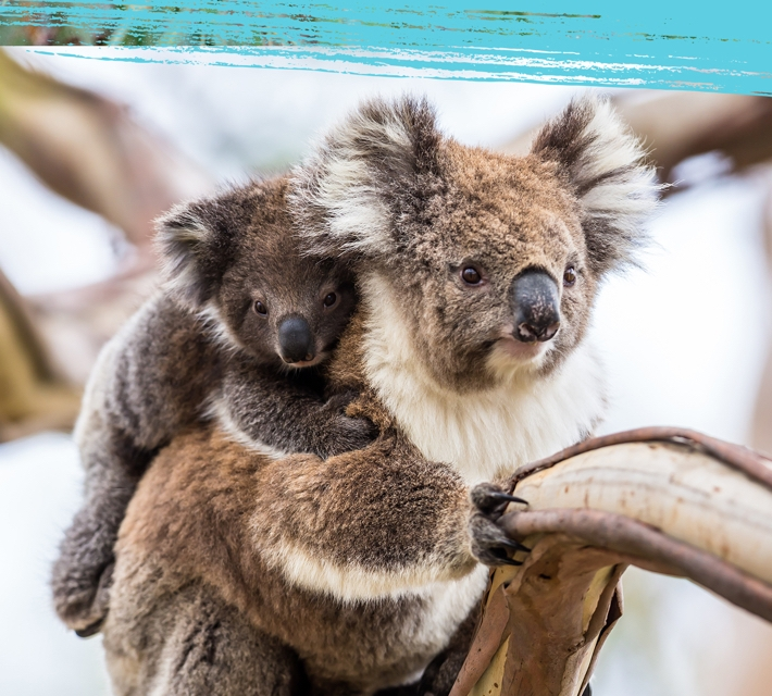 A koala baby and mother on a tree in the Australian woodland.