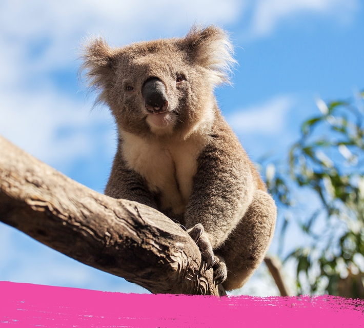 Image of a koala bear balancing on a tree ranch.