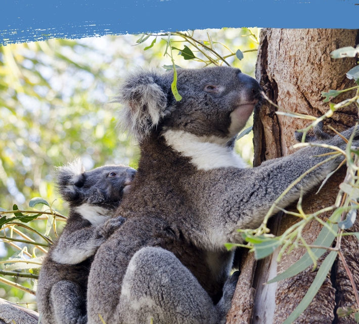 A koala bear mother with baby eating eucalyptus in a tree.