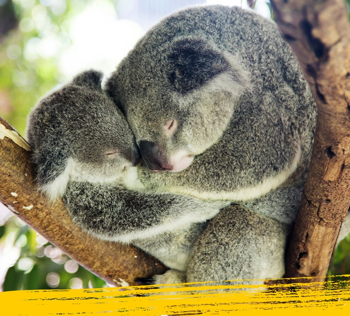 Sleepy koala - a mother koala with baby sleeping on a tree.