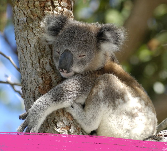 A koala hugging a tree in its natural habitat in Australia.