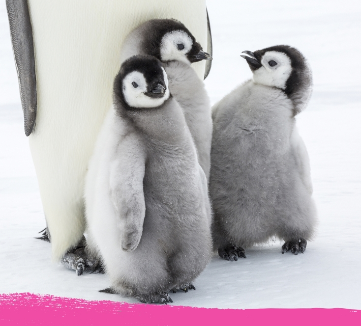 Three baby penguins standing close to each other