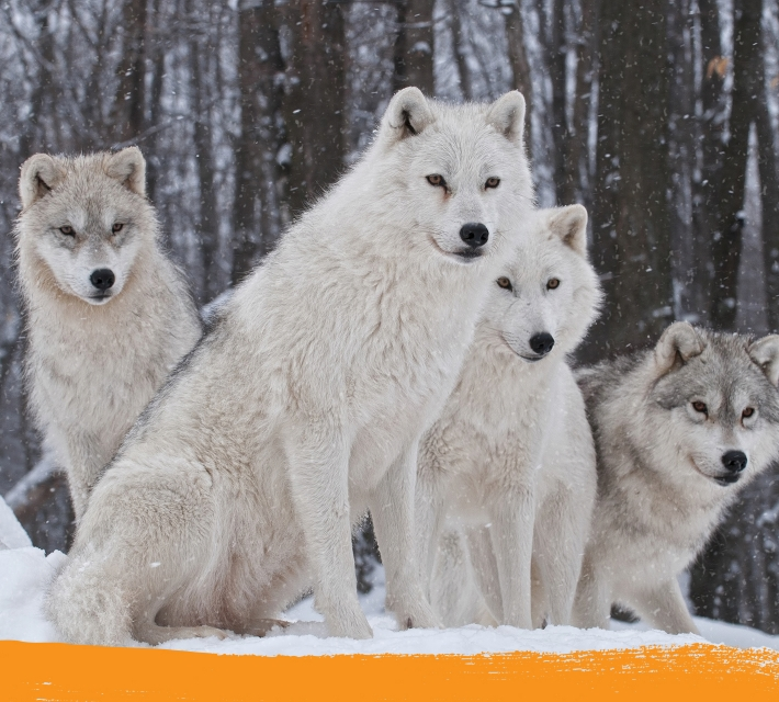 Arctic wolf family in the natural habitat