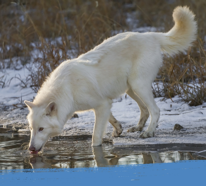 Arctic wolf drinking from a water pond