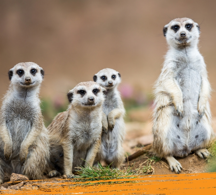 A group of baby meerkats standing happily