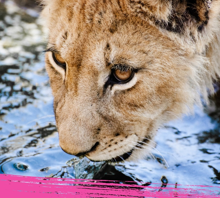 Lioness close up while drinking water
