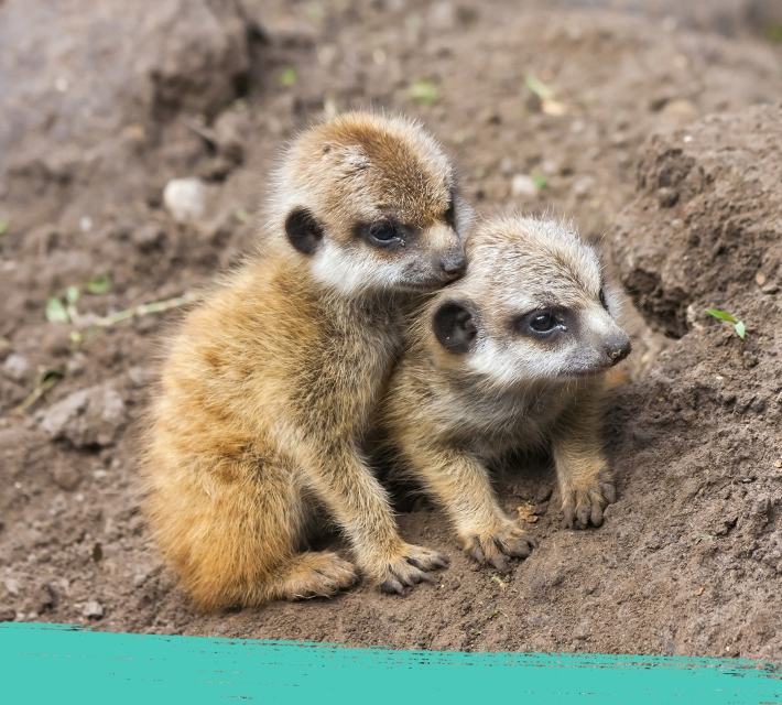 Two baby meerkats cuddling