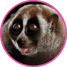 A slow loris showing off the tongue