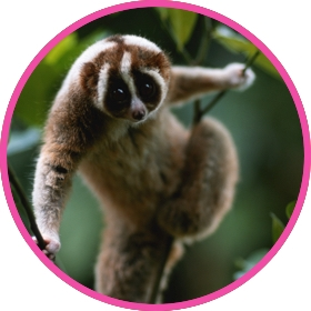 Slow loris climbing a tree in its natural habitat
