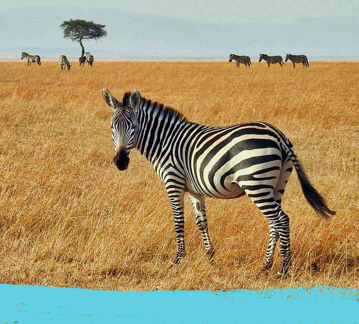Zebra in the savanna