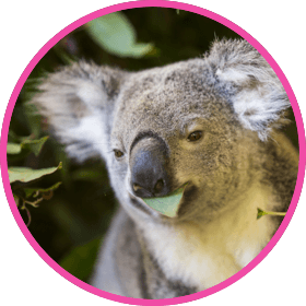 Koala sitting with eucalyptus leaves in its mouth