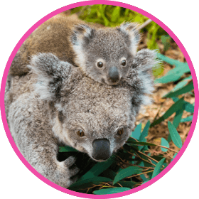 wild-about-water-koala-with-baby-on-head