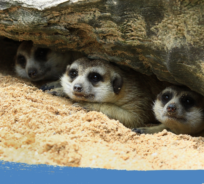 Group of meerkats hiding in an underground burrow