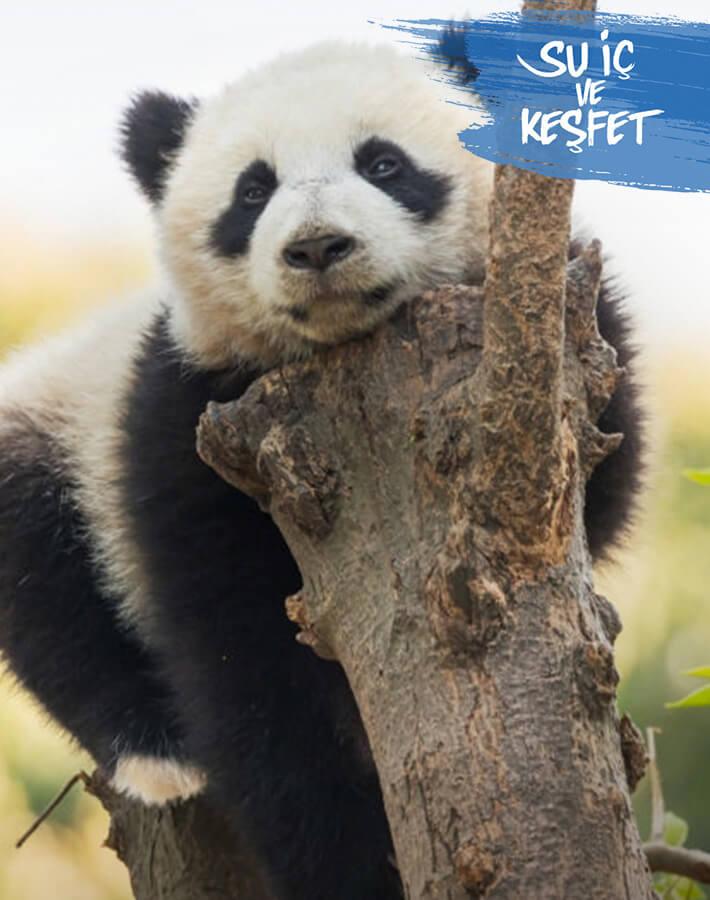 Panda in a tree in its natural habitat.