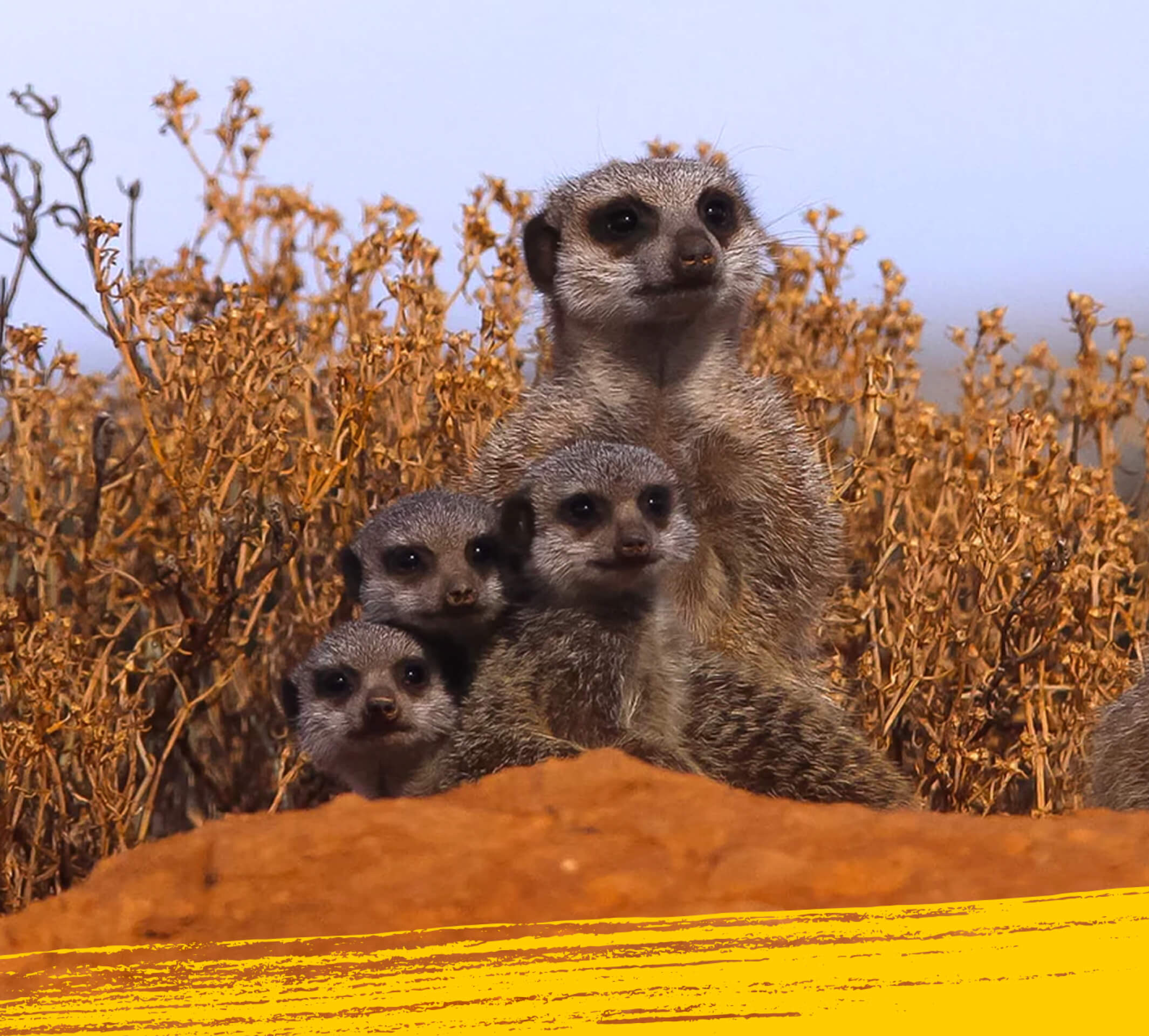 Meerkat and a group baby meerkats on a red hump