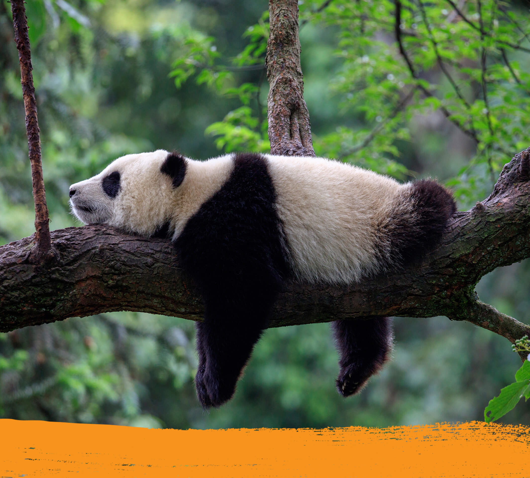 A sleeping panda on a tree in its natural habitat