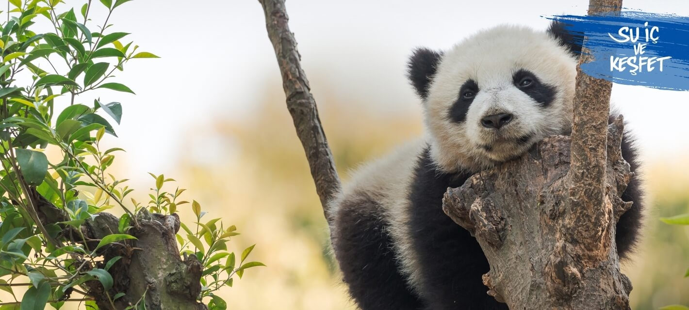 Panda in a tree in its natural habitat.