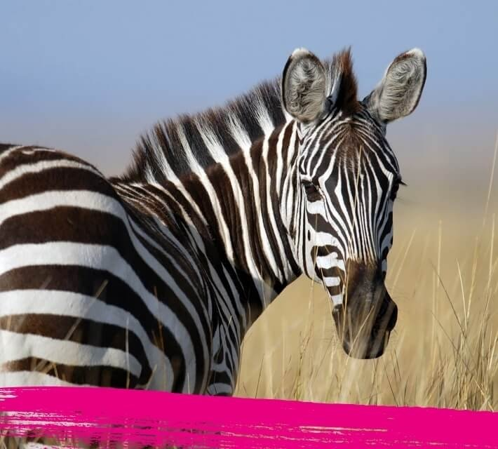 Close up of a zebra in a group