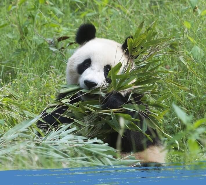 A black and white giant panda enjoys eating its favourite food