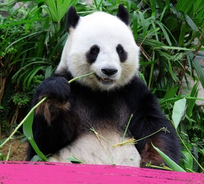 A giant panda chewing on his favourite food bamboo