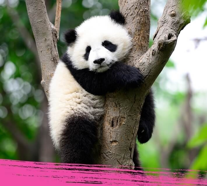 A giant panda is hugging a tree in its natural habitat