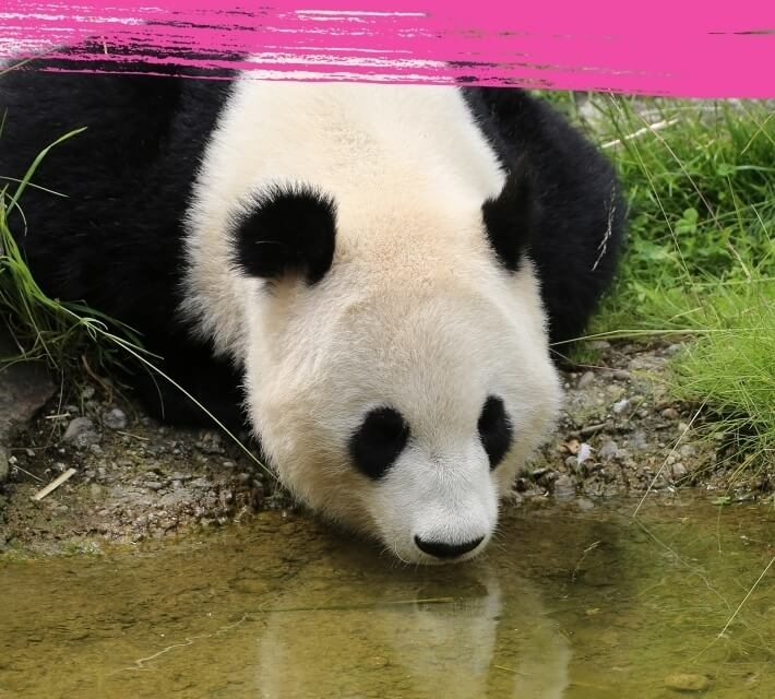 A giant panda drinking water from a small pond.