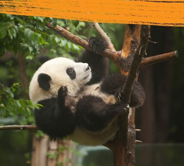 A black and white giant panda is climbing a tree in its natural environment