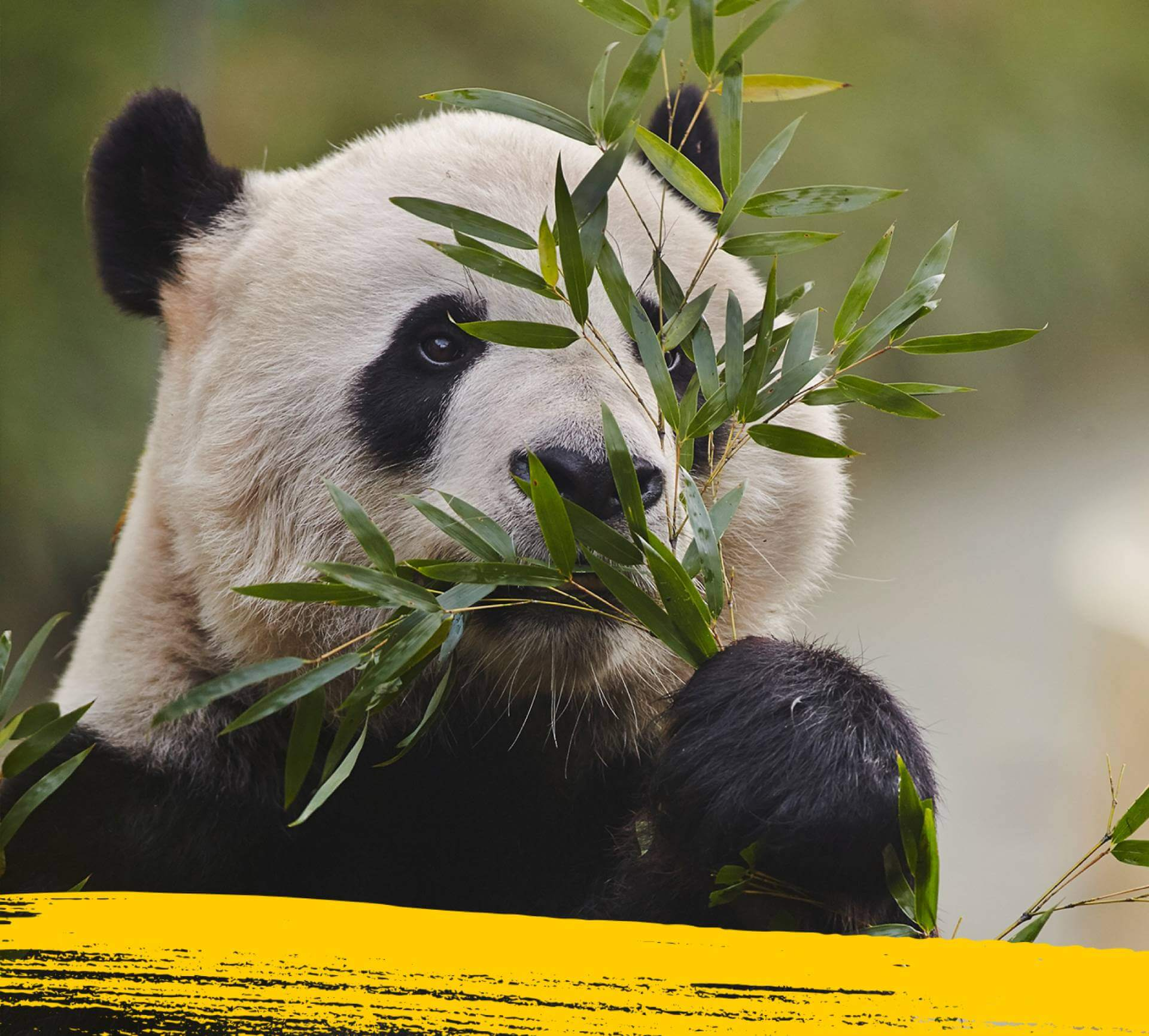 A giant panda munching on its favourite food bamboo.