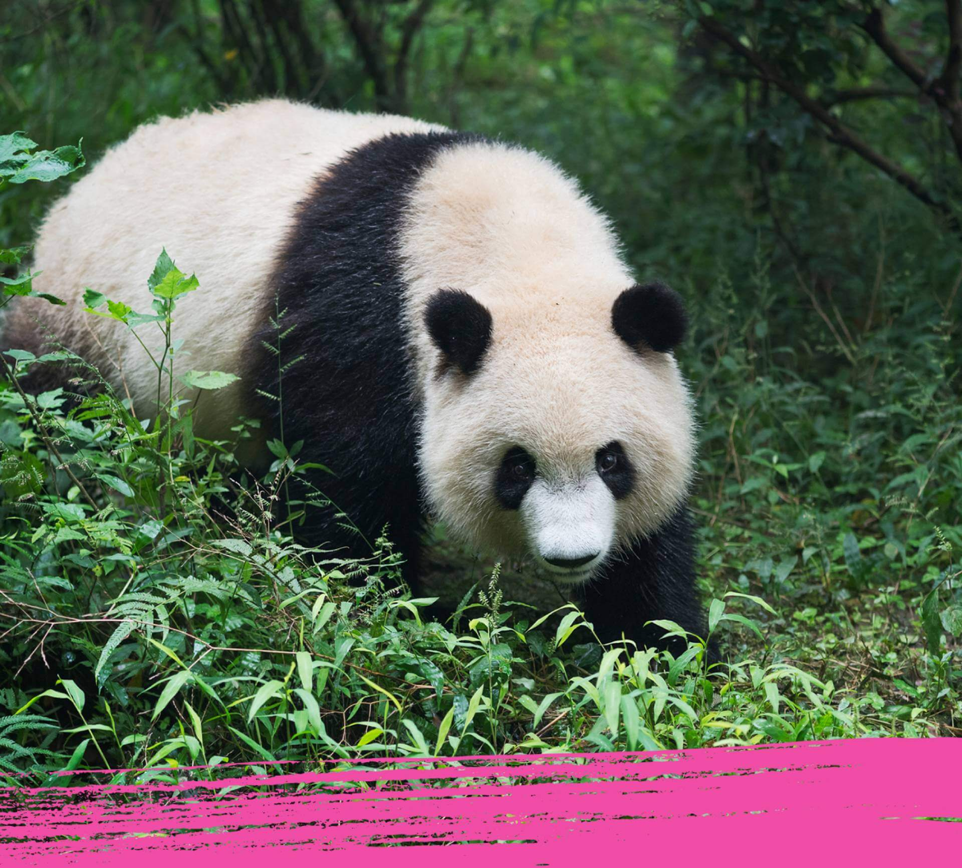 Giant panda marking its territory