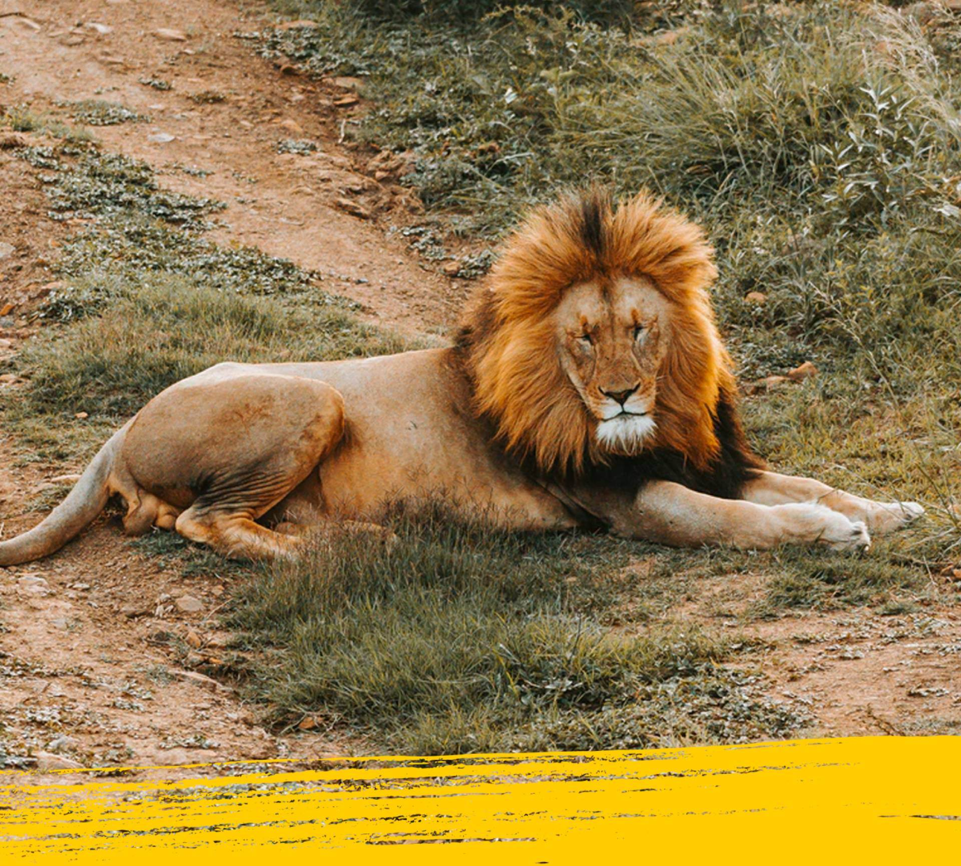 Lion lying down in its habitat