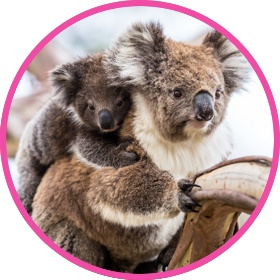 Cuddly koala with a baby koala bear on back
