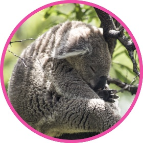 Cute koala bear sleeping on a tree