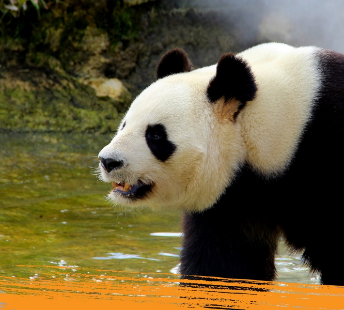 A giant panda near a small pond
