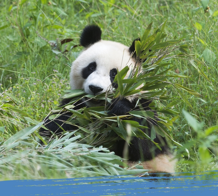 A black and white giant panda enjoys eating his favourite food