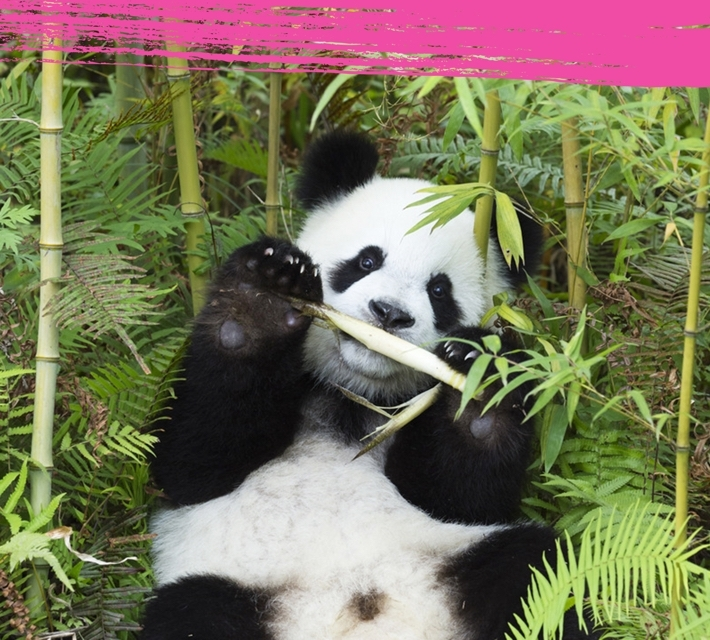 Panda eating bamboo in its natural habitat.