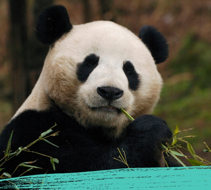 A black and white giant panda chewing on bamboo
