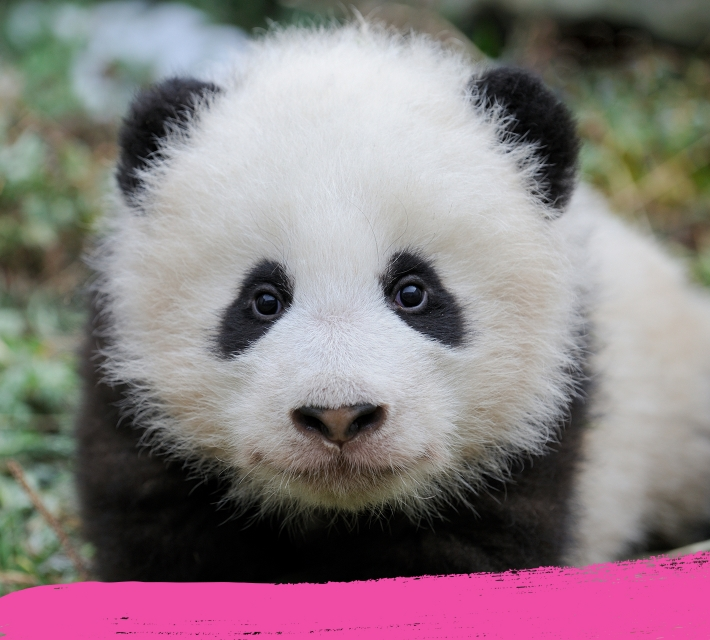 A cute panda cub looking into the camera