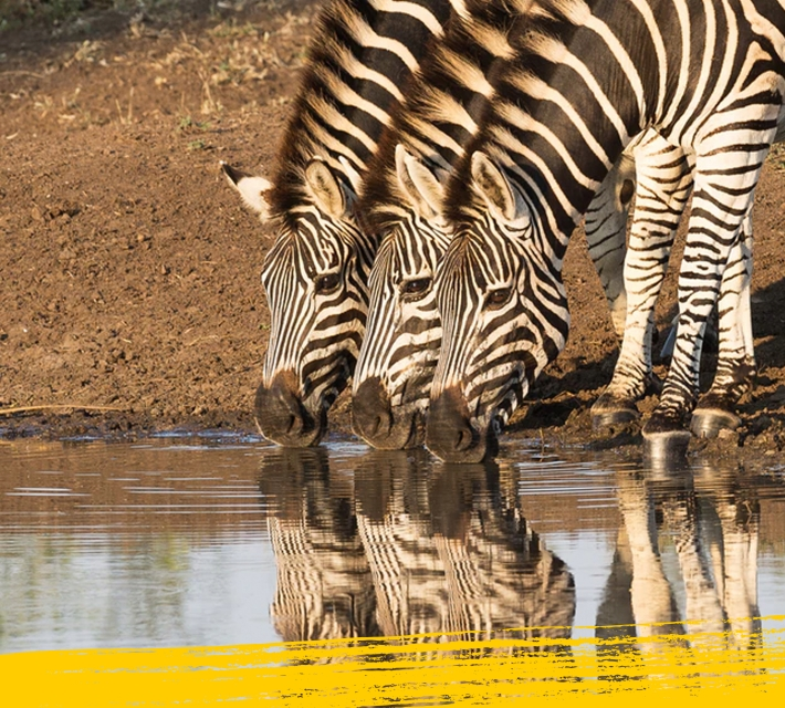 Three zebras drinking water from a water pond